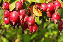 Image of Crabapple