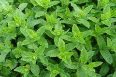 Image of Mint/Herbs